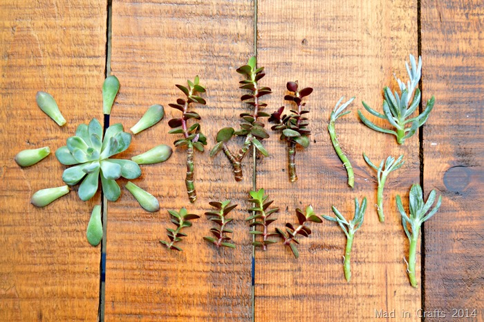 Succulent Cuttings for Propagation