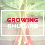 GUIDE TO GROWING RHUBARB