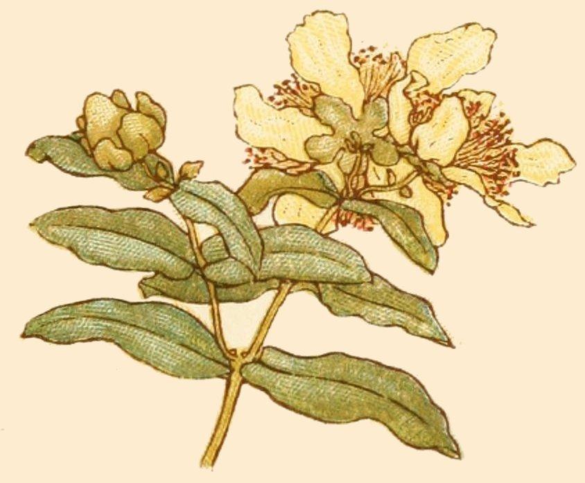 Lantana Lemon Zest