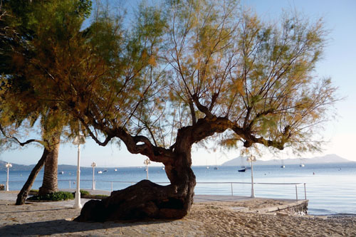 The Tremendous Tamarisk Tree The Mallorca Photo Blog