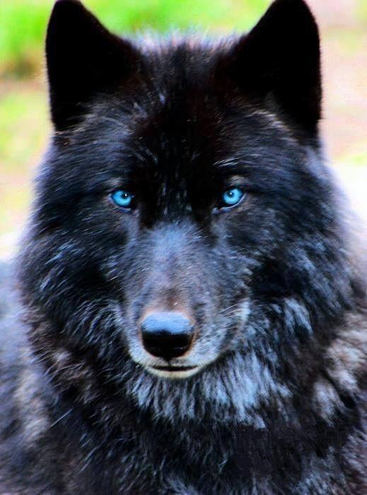 Husky Wolf Hybrid Alaskan Puppies