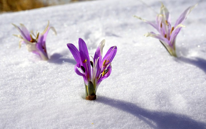 Winter Flowers  Snow  Botany  Flowering  Nature   Photos by Canva Winter Flowers  Snow  Botany  Flowering  Nature