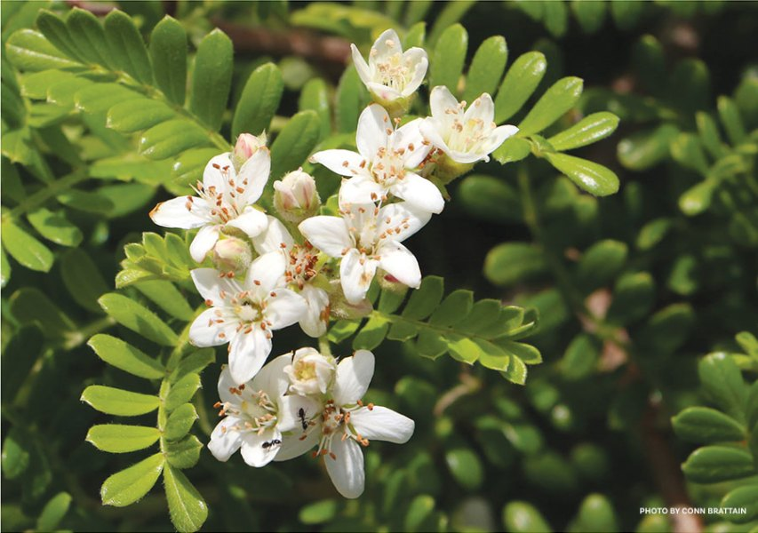 Native Hawaiian Flowers   Beach Beauties   Hawaii Beach Flowers A member of the rose family       lei ranks among the loveliest of Hawaiian  groundcovers  Its vinelike branches snake along the ground  bedecked in  fragrant