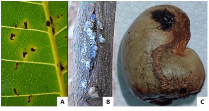 Diseases Of Cashew Nut Plants Anacardium Occidentale L