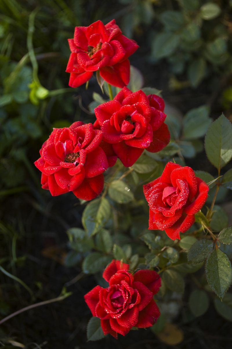Miniature Rose Garden Ideas Photograph Miniature Roses G