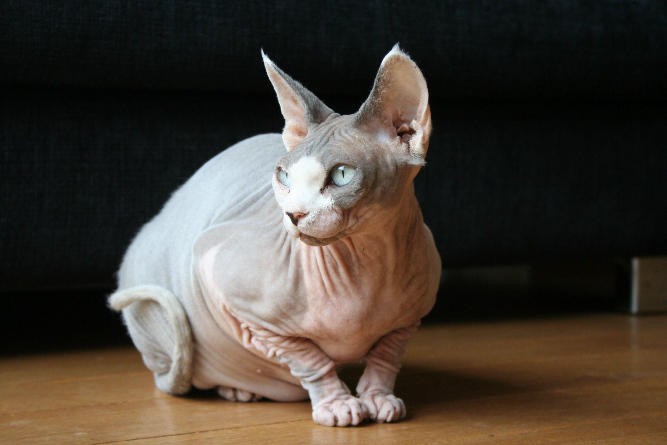 [sphynx, cat) | Sphynx & Chinese Crested | Pinterest