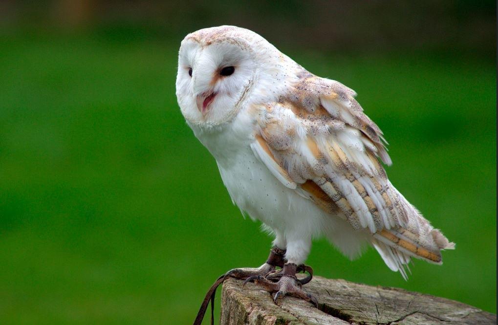 Barn Owl - The Australian Museum