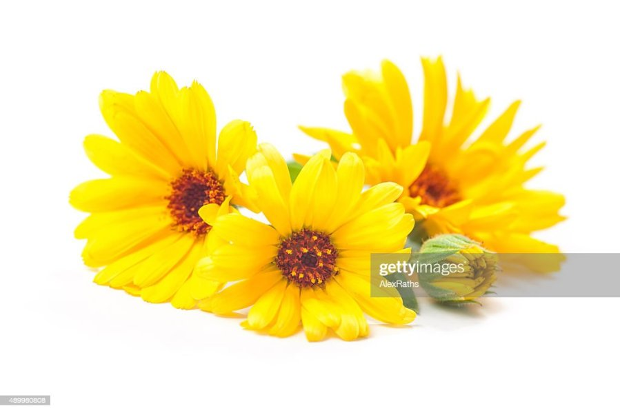 Free yellow flower white background Images  Pictures  and Royalty     Frame made of various yellow flowers on white background  Calendula  officinalis