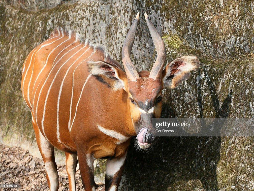 ボンゴ ストックフォトと画像 | Getty Images