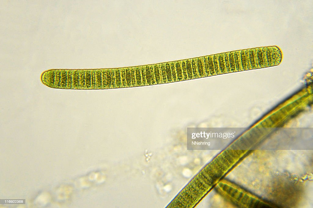 Oscillatoria Stock Photos and Pictures | Getty Images
