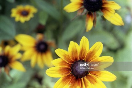 Yellow flower with black center flower shop near me flower shop com brown eyed susan seeds striking bright yellow brown eyed susan seeds striking bright yellow flowers with brown center yellow arnica flower with mightylinksfo