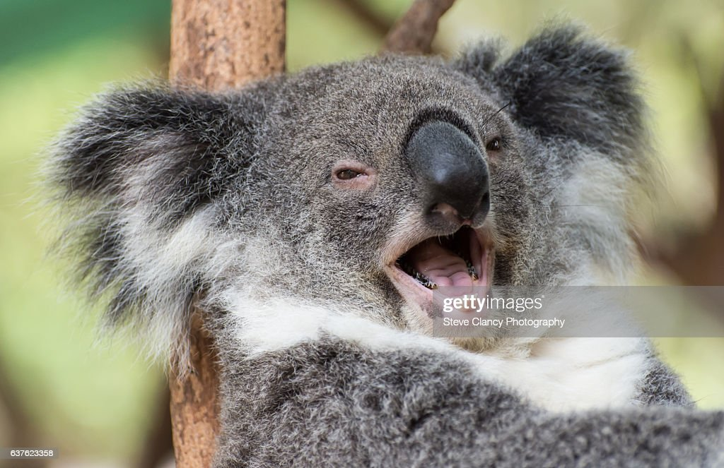 Happy Koala High-Res Stock Photo - Getty Images