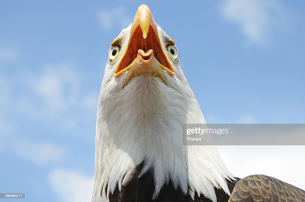 Eagle Bald Beak Open
