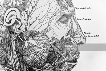 human face anatomy drawing » 4K Pictures   4K Pictures [Full HQ ...