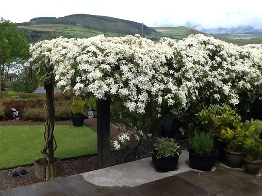 The Clematis Covering My Pergola Is A Montana Old Man S