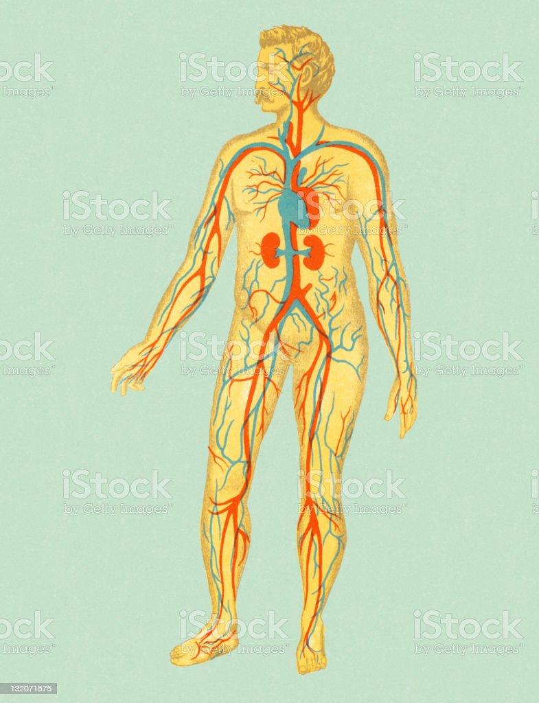 circulatory system images - 750×978