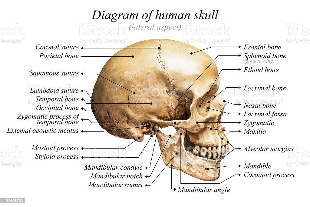 Maxilla Bone Anatomy Worksheet