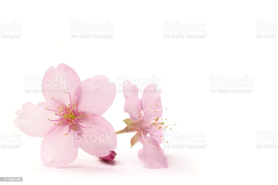Japanese Cherry Blossom Flowers In The White Stock Photo   More     Japanese Cherry Blossom Flowers In The White Stock Photo   More Pictures of  April   iStock