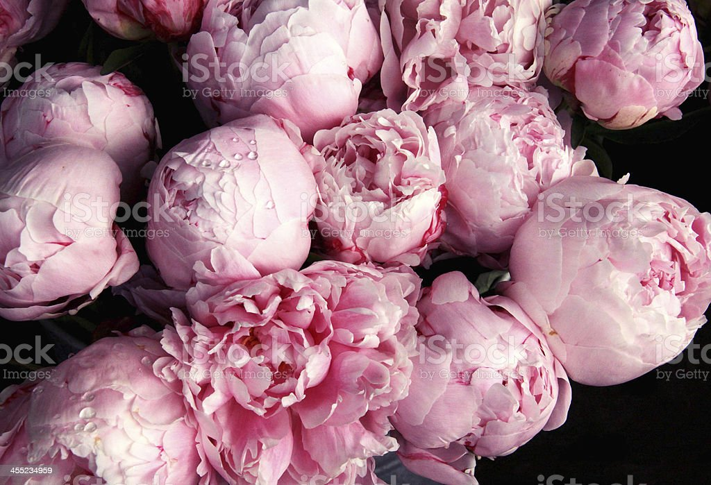 Royalty Free Peony Pictures  Images and Stock Photos   iStock pink peony flowers with raindrops stock photo