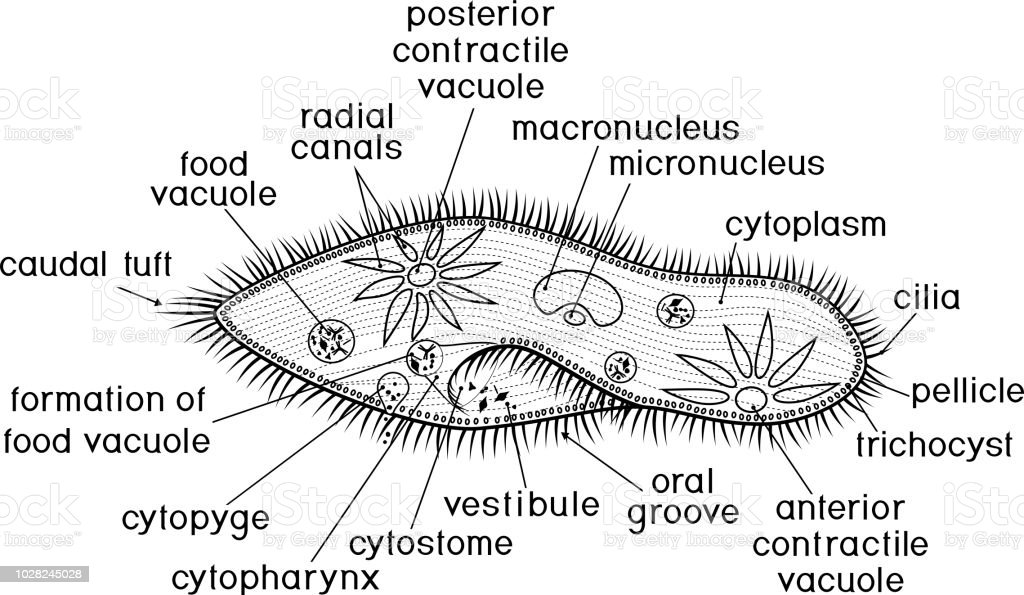 Coloring Page Structure Of Paramecium Caudatum With Titles ...