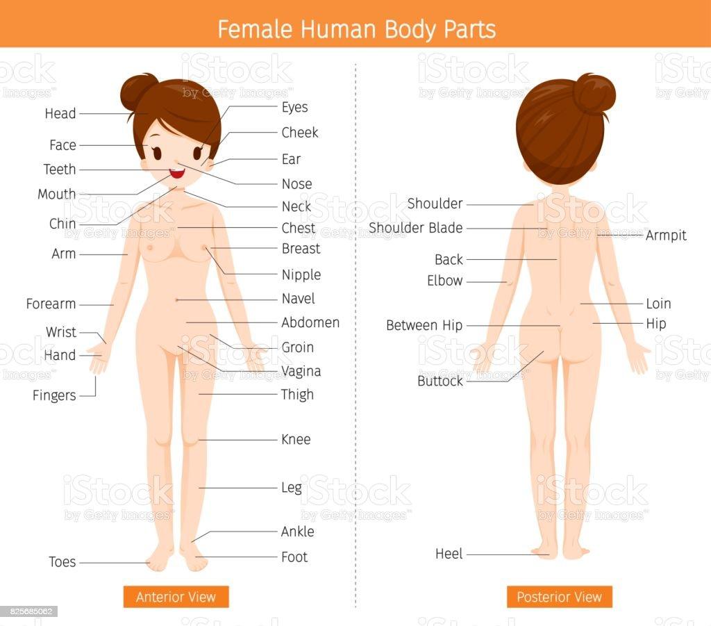 Human Body External Organs Diagram - Trusted Wiring Diagrams •