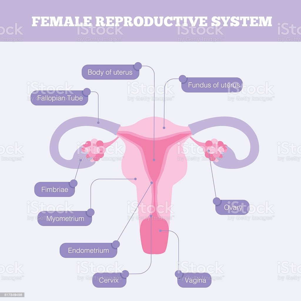 Female Reproductive System Flat Vector Infographic Stock ...