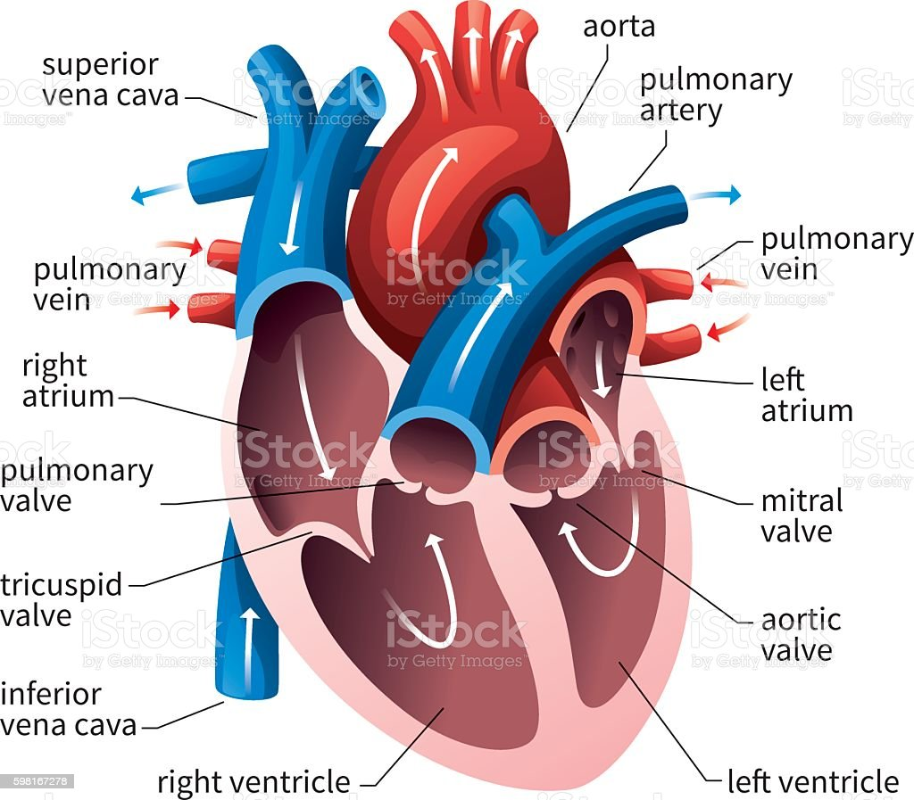 Human Heart Circulatory System Stock Vector Art & More ...