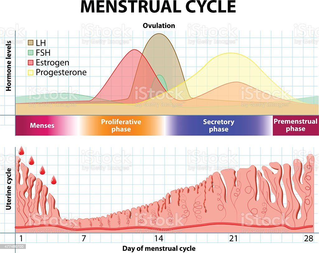 counting menstrual cycle - 612×486