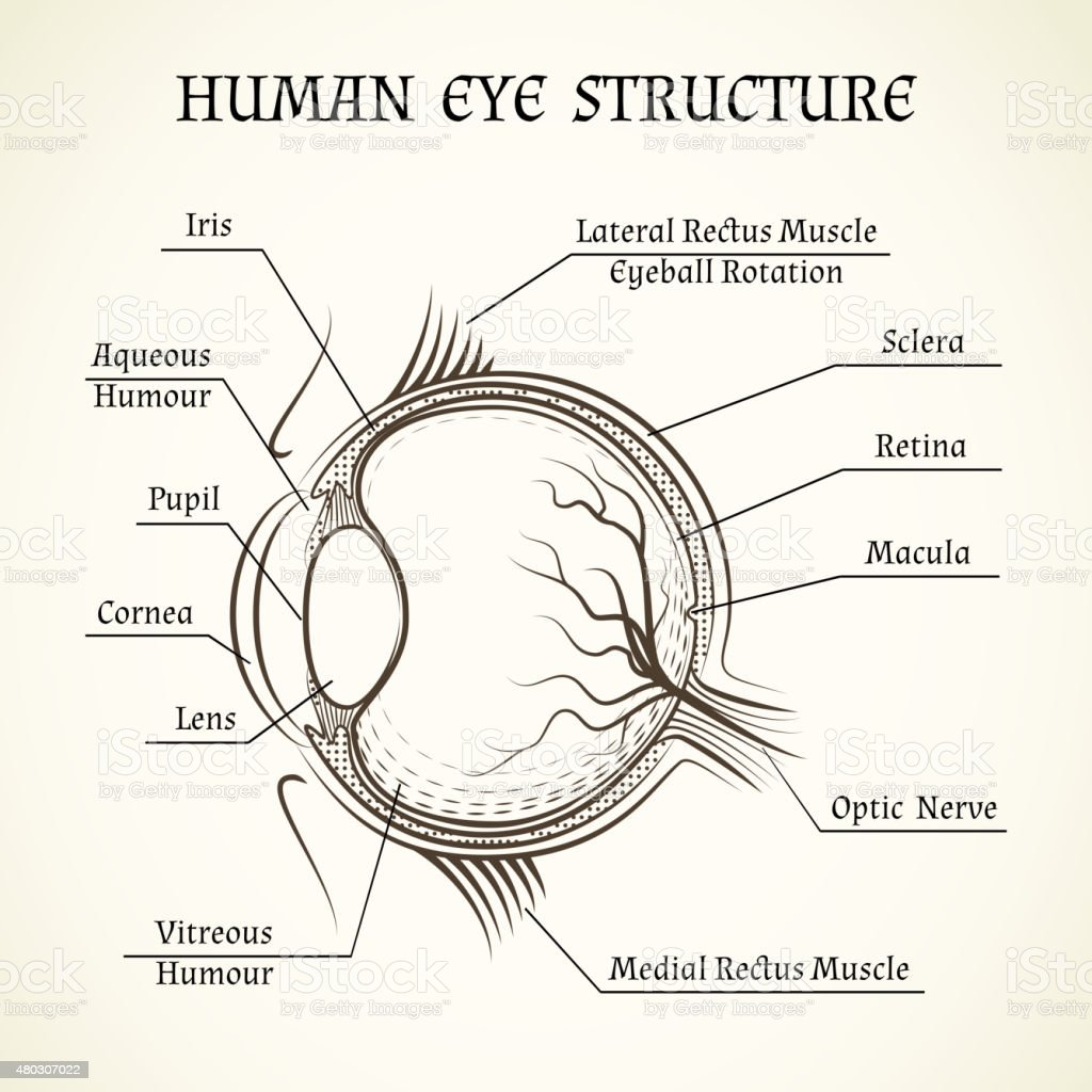 Vector structure of the human eye stock vector art more images of rh istockphoto medical diagram of ear simple diagram of the eye