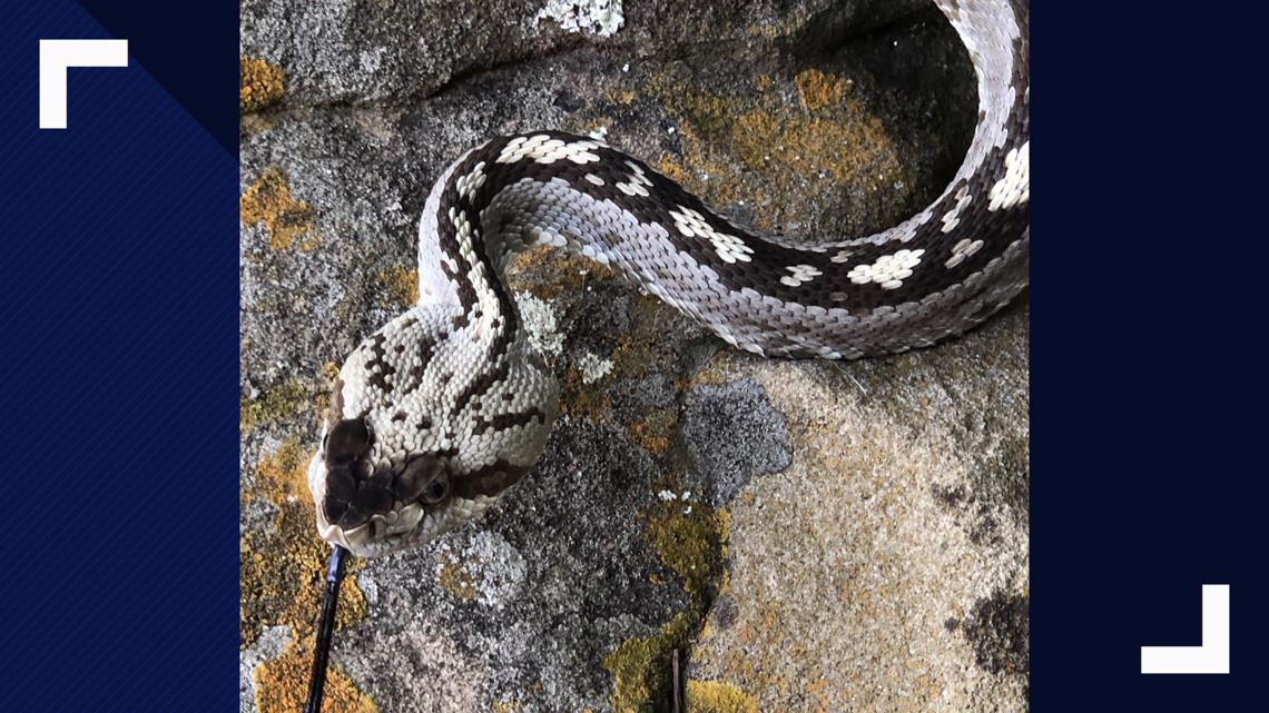 Rare Eastern black-tailed rattlesnake spotted in Jonestown ...