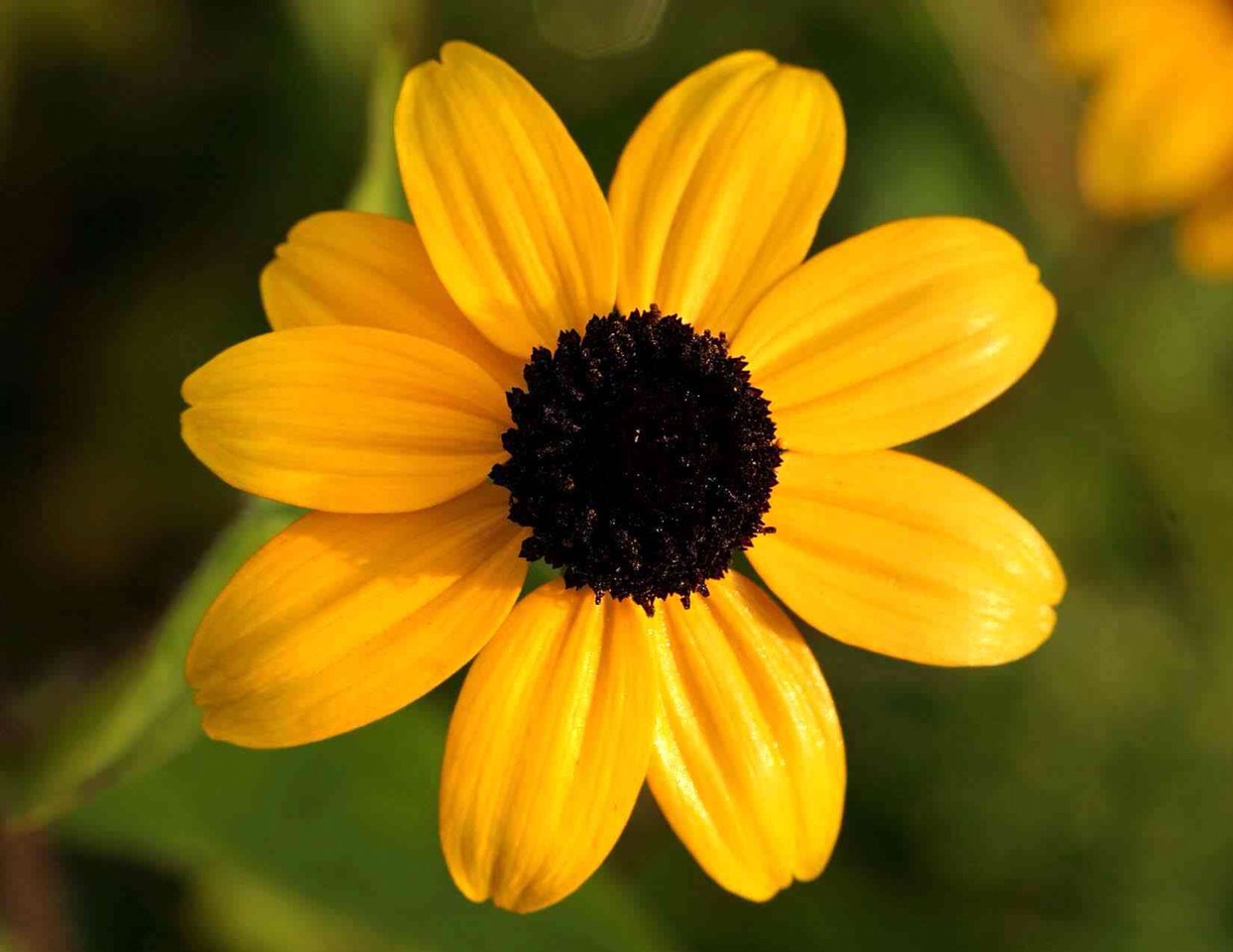 brown eyed susan - HD 1243×960