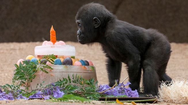 Baby Gorilla Celebrates First Birthday Nbc 7 San Diego