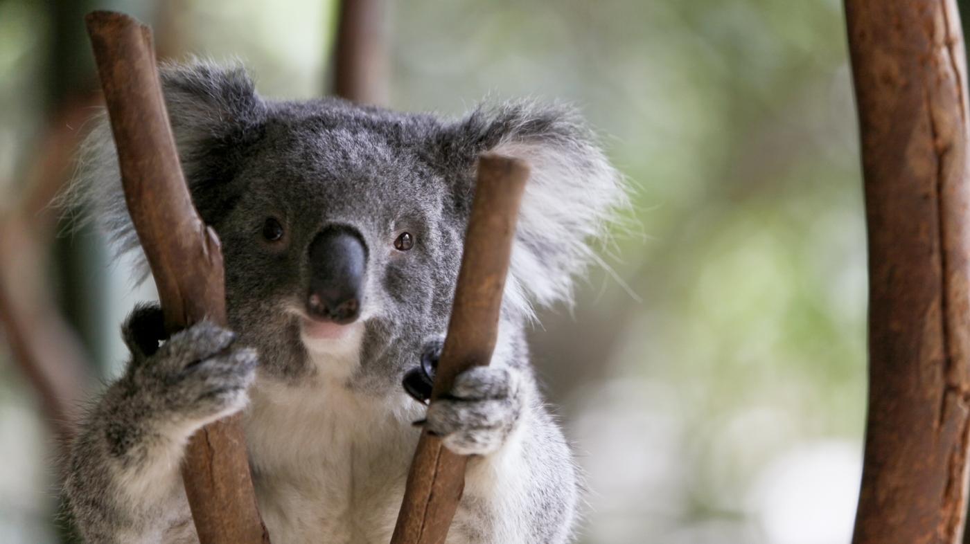 smiling koala picture - HD1400×786