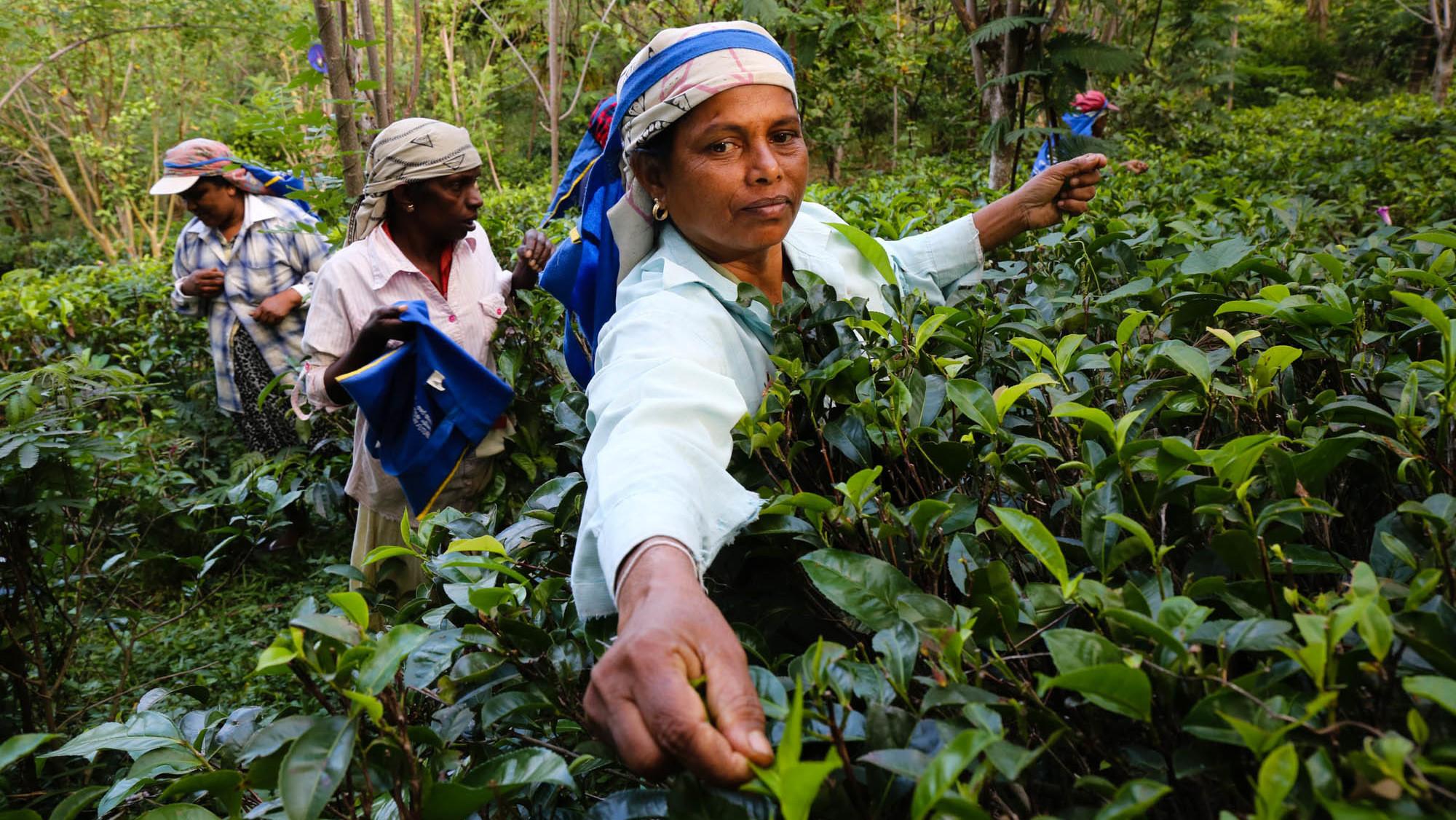 Photos In Sri Lanka S Tea Paradise A Social Enterprise