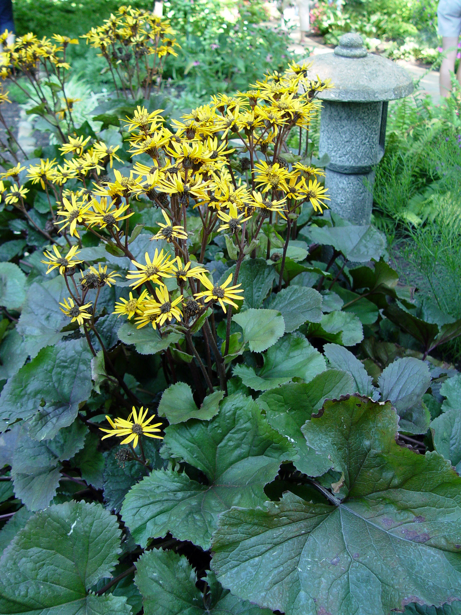 Can We Grow Ligularia Here Pennlive Com