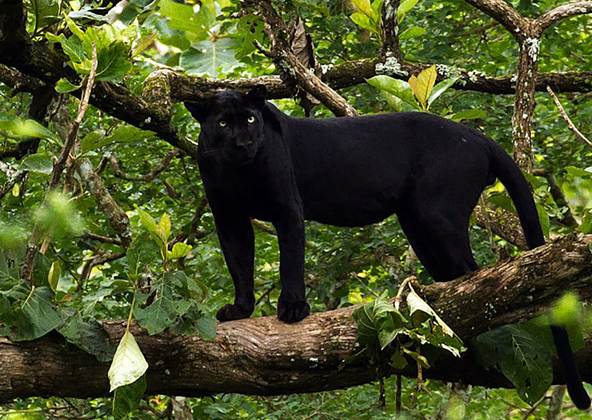 Black panthers in Pennsylvania? Reports continue to ...