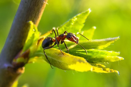 BMC Evolutionary Biology   Home page Ant queen