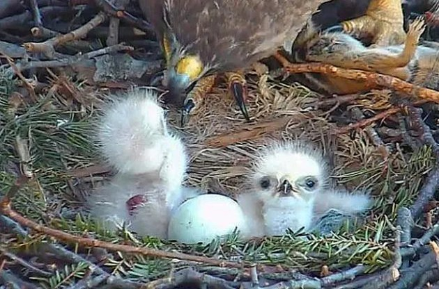 Watch an Adorable Baby Red Tailed Hawk Hatch Live on Nest Cam   WIRED Watch an Adorable Baby Red Tailed Hawk Hatch Live on Nest Cam  Cornell Lab  of Ornithology
