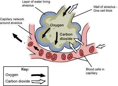 Respiration and Circulation - Mrs Smallwood's Science Site