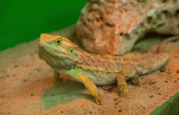 Bearded Dragon Lizards Infect 132 With Salmonella