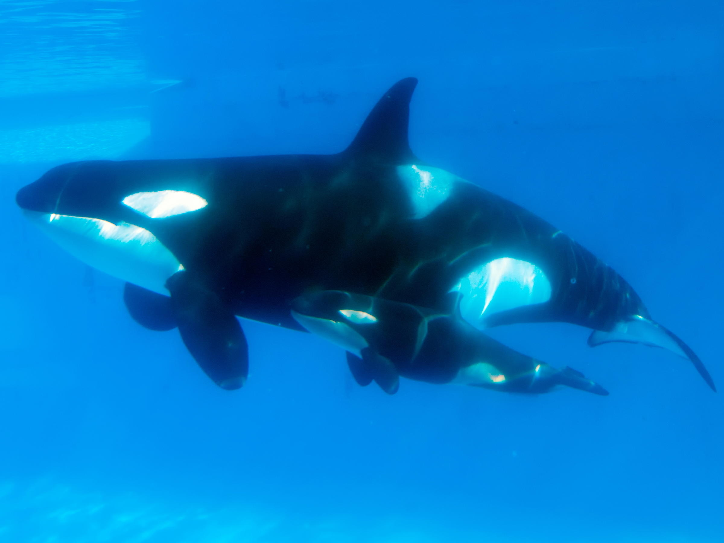 Slideshow Baby Killer Whales