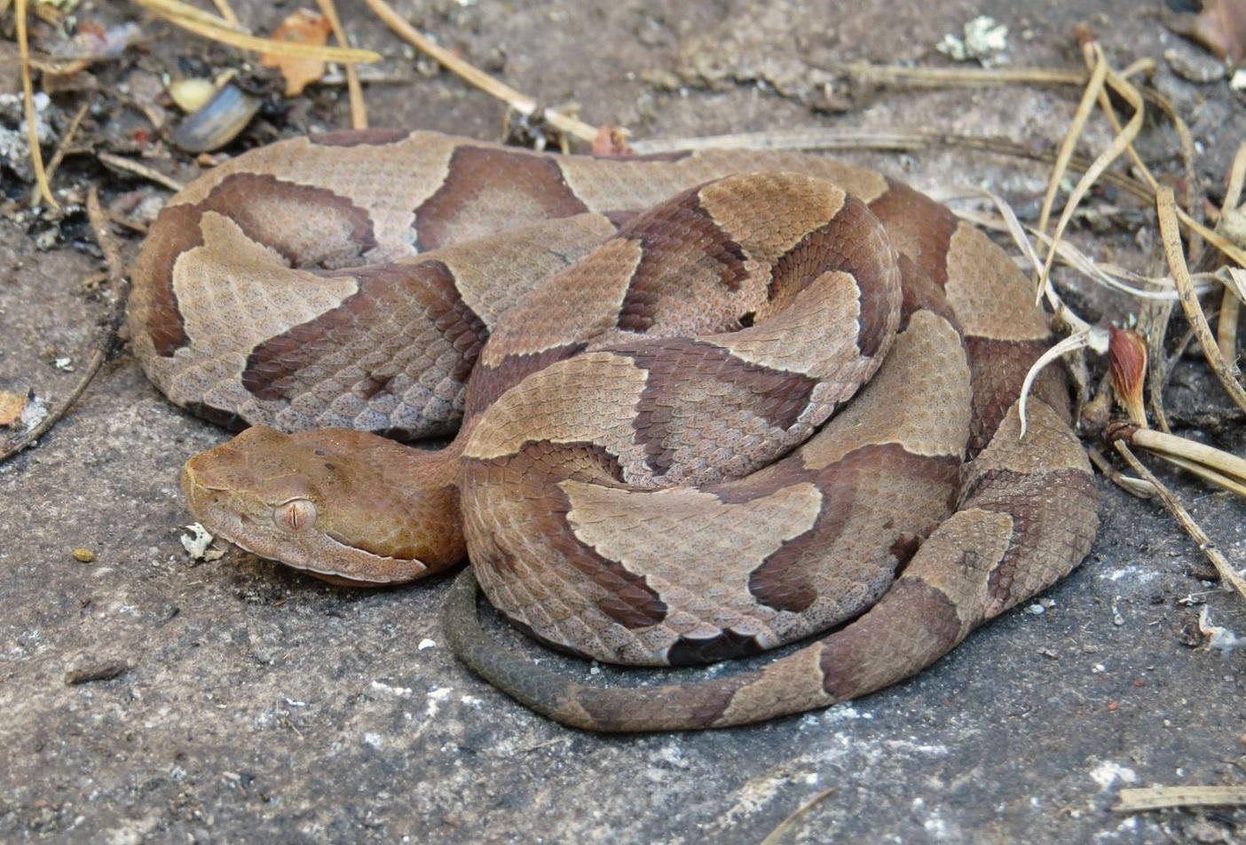 northern copperhead pictures - HD 1404×952