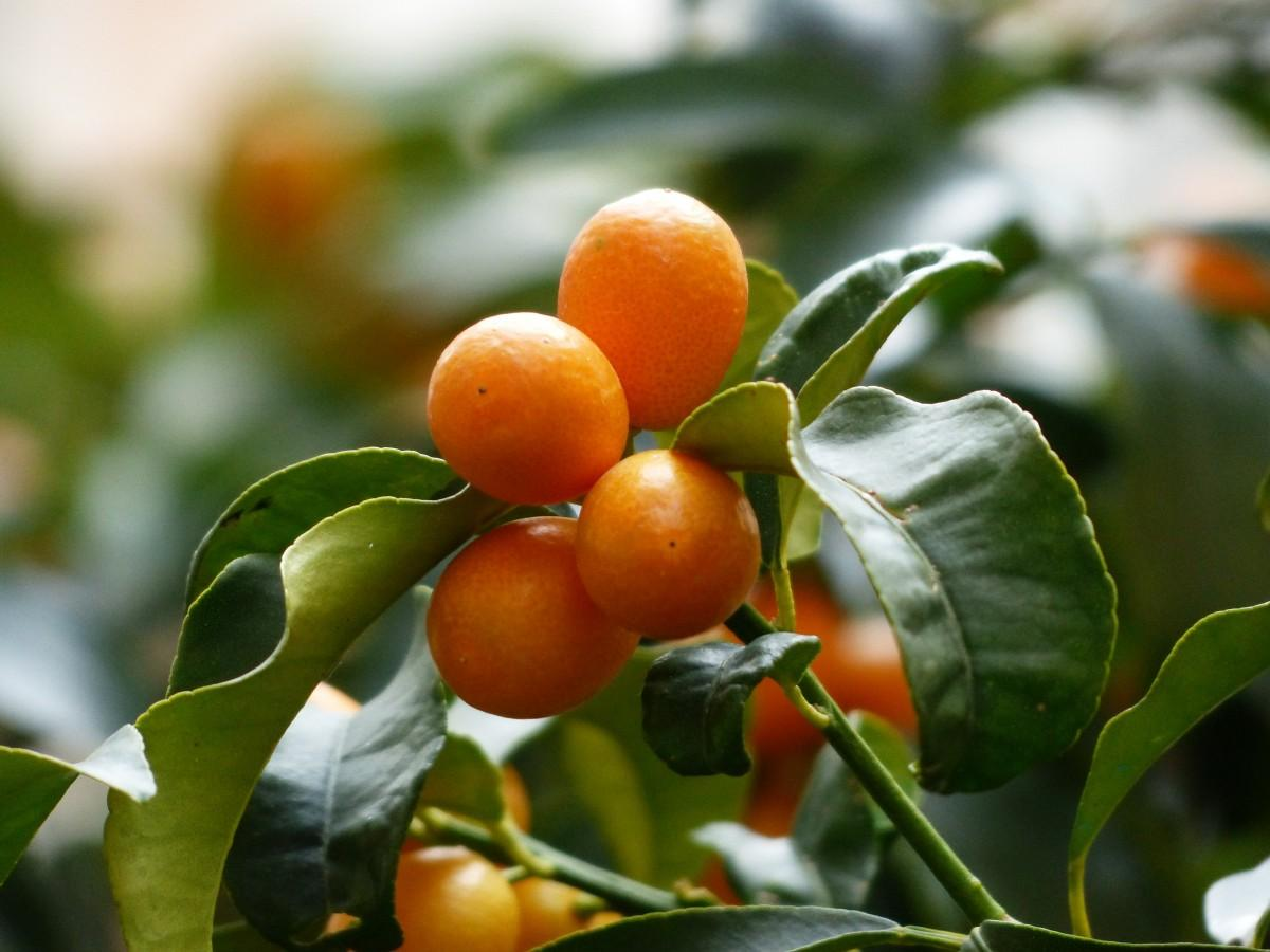 Pasco County Kumquat Groves  Devastated  By Cold Snap   WUSF News Kumquat is a citrus fruit that look like olive sized oranges  It is the  only citrus fruit eaten whole