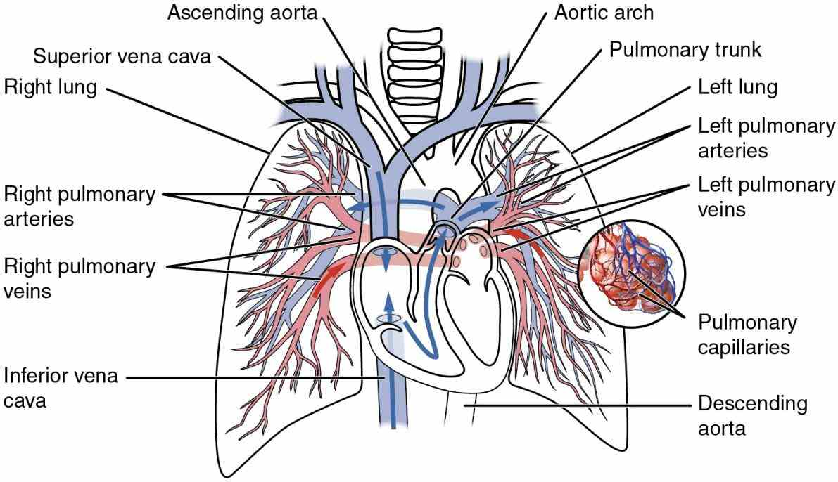 And Pulmonary Path Through Circuits And Heart Systemic Blood Back