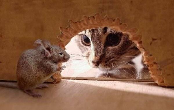 Hvad skal man frygte musen