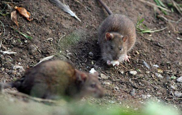 End farlige mus