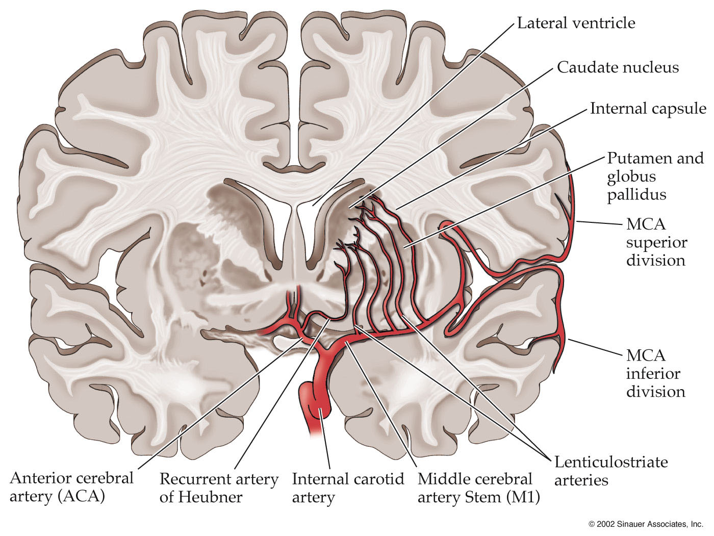 Middle Cerebral Artery Anatomy Branches