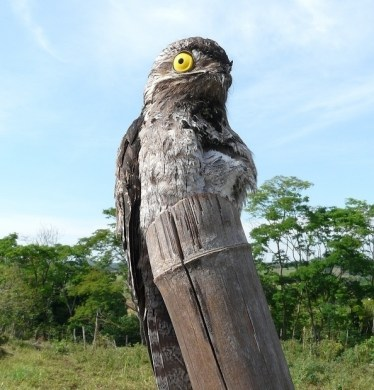 Pic  9   The Potoo bird always looks like it saw something     Pic  9   The Potoo bird always looks like it saw something horrifying