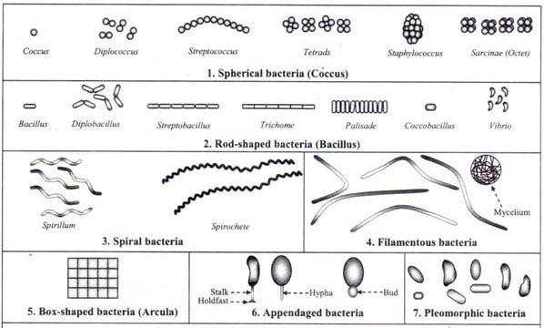 Light Microscope Under Pyogenes Streptococcus