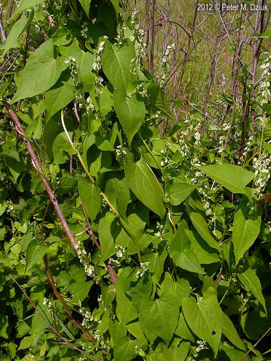 Fallopia Scandens Climbing False Buckwheat Minnesota